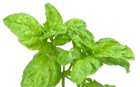 Basilikum, salatblättrig (Saatgut)