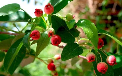 Felsenbirne 'Ballerina' (Pflanze)