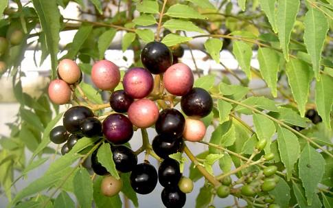 Indisches Curryblatt (Pflanze)