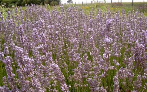 Lavendel 'Miss Katherine' (Pflanze)