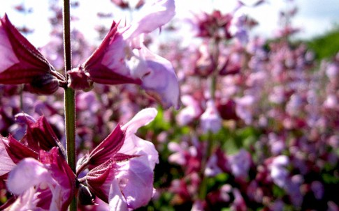 Salbei, rosa blühend (Pflanze)