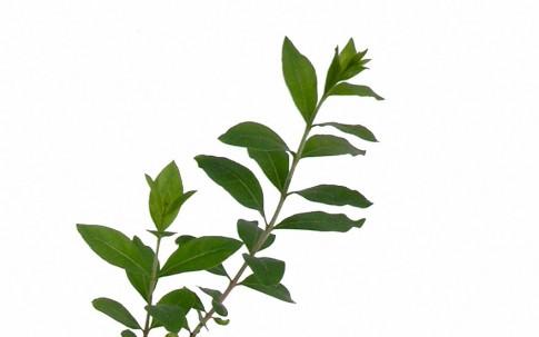 Henna (Pflanze)