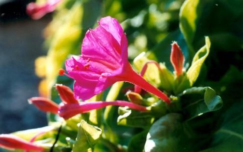 Wunderblume (Saatgut)