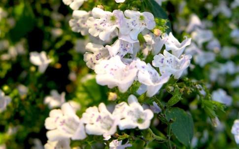 Kleine Bergminze (Pflanze)