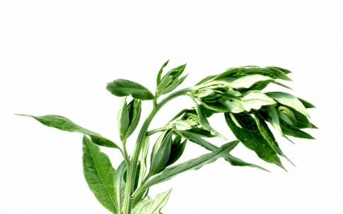 Moxakraut, chinesisch (Pflanze)