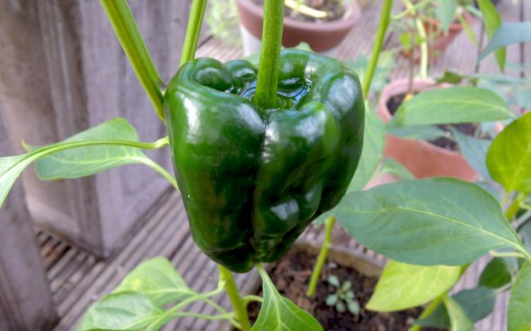 Chili 'Ancho' (Saatgut)