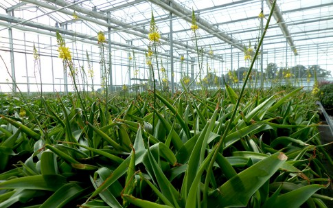 Natal-Bulbine (Pflanze)