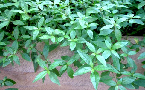 Mukunu-Wenna, grün (Pflanze)