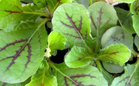 Salvia lyrata (Saatgut)