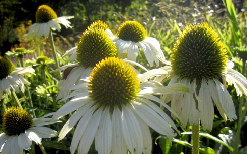 Echinacea, weiß blühend (Saatgut)