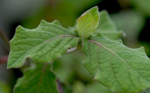 Apamarga (Pflanze)