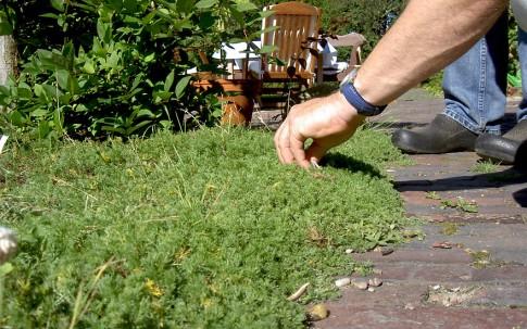 Englische Rasenkamille (Pflanze)