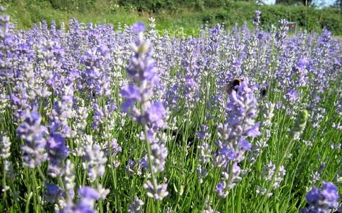 Lavendel 'Blue Cushion' (Pflanze)