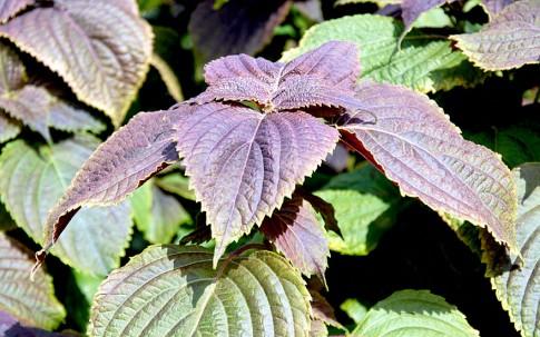 Bronze-Perilla (Pflanze)