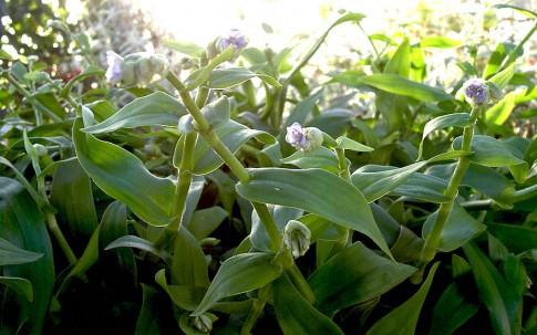 Murdannia (Pflanze)