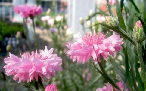 Kornblume, pink (Saatgut)