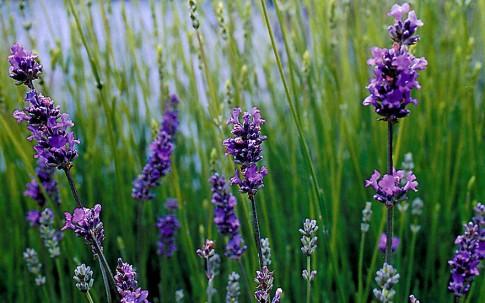 Provence-Lavendel 'Blue Dwarf' (Pflanze)