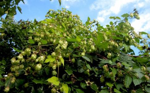 Bierhopfen 'Nugget' (Pflanze)
