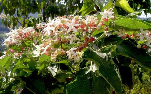 Chinesischer Losbaum (Pflanze)