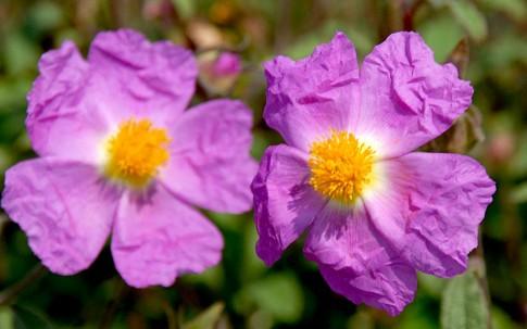 Cystus® (Pflanze)