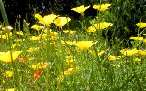 Kalifornischer Goldmohn (Saatgut)