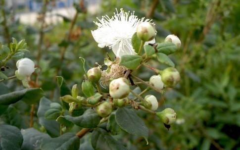 Chilenische Myrte (Pflanze)
