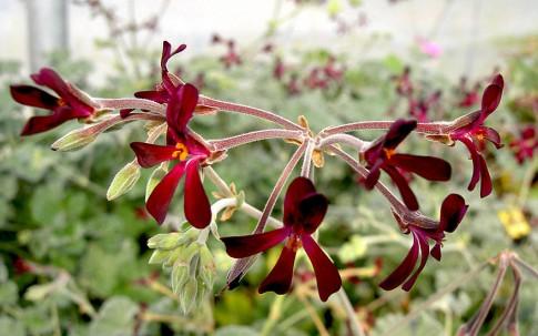 Heil-Pelargonie (Pflanze)