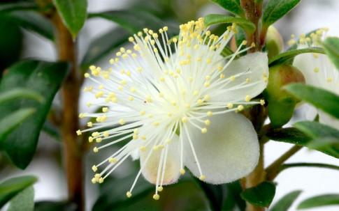 Argentinische Myrte (Pflanze)