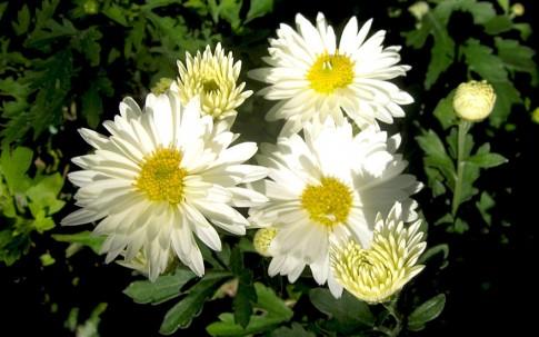 Chinesische Tee-Chrysantheme (Ju Hua) (Pflanze)