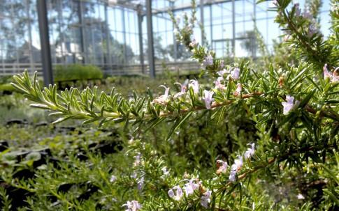 rosmarin h ngend pflanze rosmarinus officinalis. Black Bedroom Furniture Sets. Home Design Ideas
