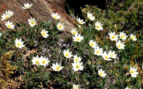 Silberwurz (Pflanze)