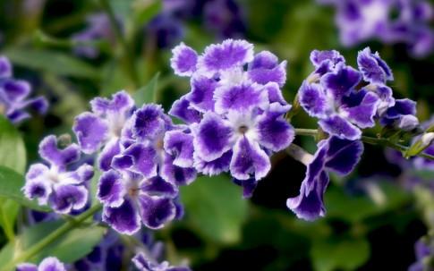 Himmelsblüte 'Geisha Girl' (Pflanze)