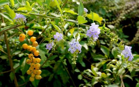 Himmelsblüte, hellblau (Pflanze)