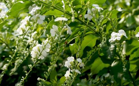 Himmelsblüte, weiss (Pflanze)