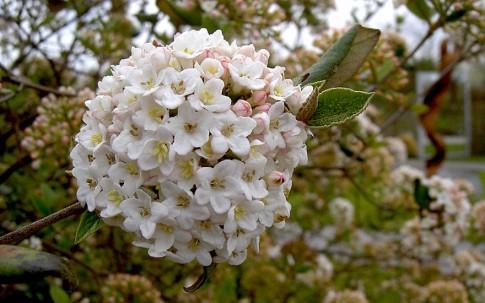 Wintergrüner Schneeball (Pflanze)