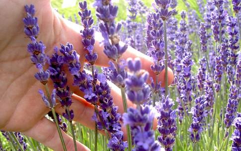Lavendel 'Cecilia' (Pflanze)