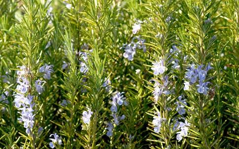 Französischer Rosmarin (Pflanze)