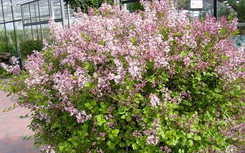 Zwerg-Flieder (Pflanze)