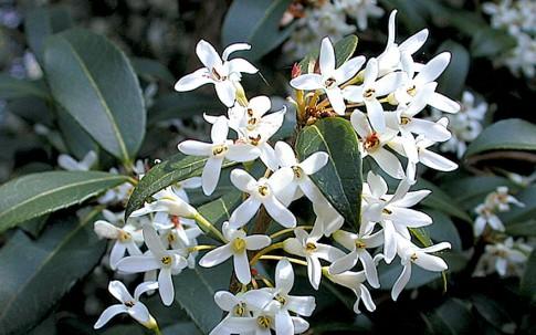 Frühlings-Duftblüte (Pflanze)