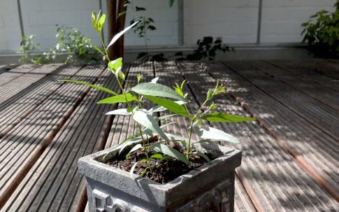 Lemon-Eukalyptus (Saatgut)