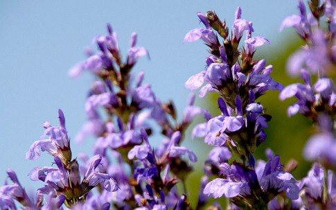 Zwerg-Salbei (Pflanze)
