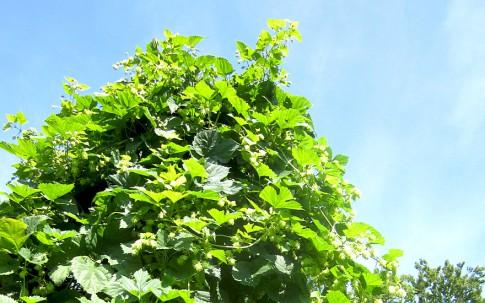 Zwerg-Hopfen (Pflanze)