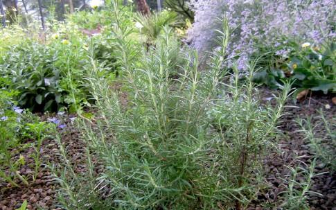 Rosmarin 'Arp' (Pflanze)