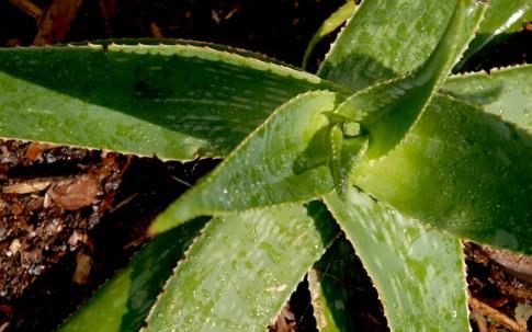 Aloe Vera (Pflanze)