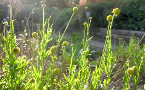 Fruchtgummipflanze (Saatgut)
