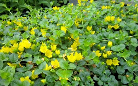 Pfennigkraut (Pflanze)