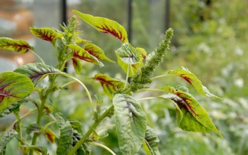 Gemüse-Amarant (Saatgut)