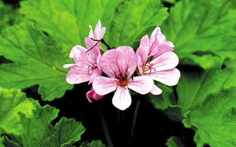 Duftgeranie 'Attar of Roses' (Pflanze)