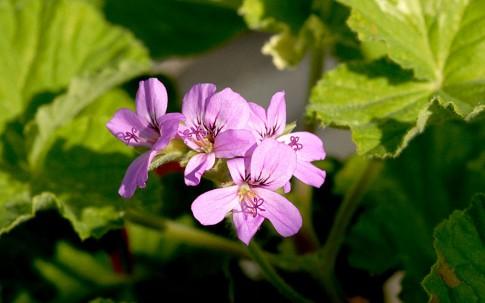 Duftgeranie 'Snowflake' (Pflanze)