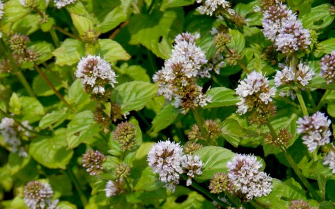 Orangenminze (Pflanze)